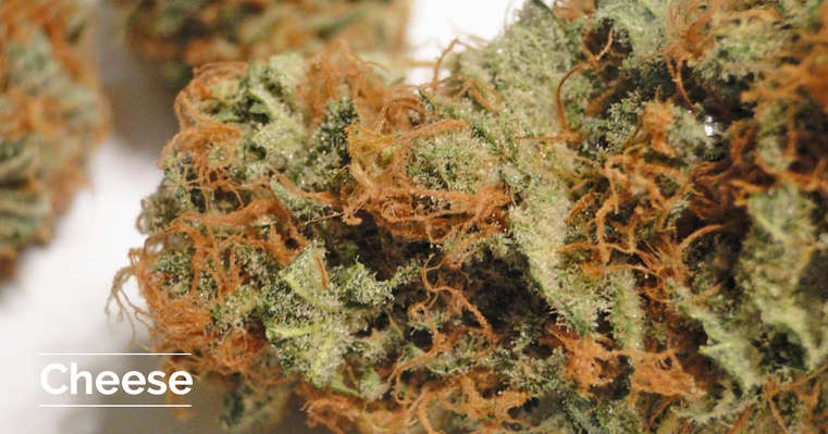 Featured strain: Cheese