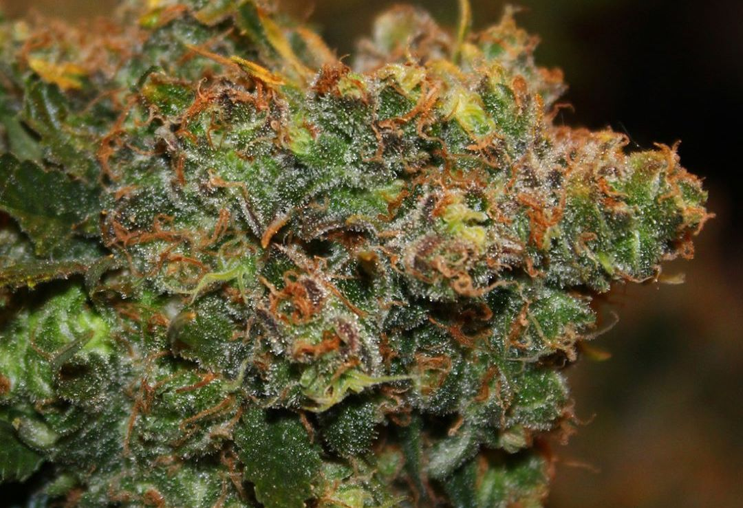 Featured strain: Chocolope