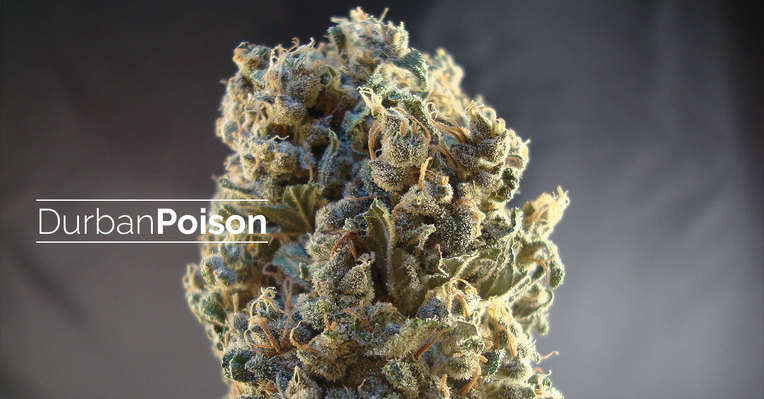 Featured strain: Durban Poison