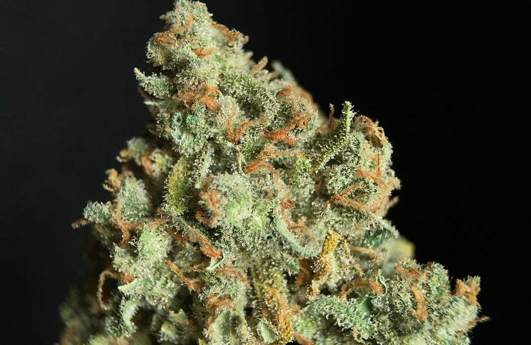 Featured strain: Jack Herer
