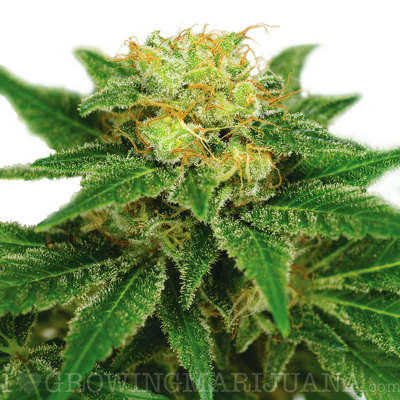 Featured strain: Northern Lights