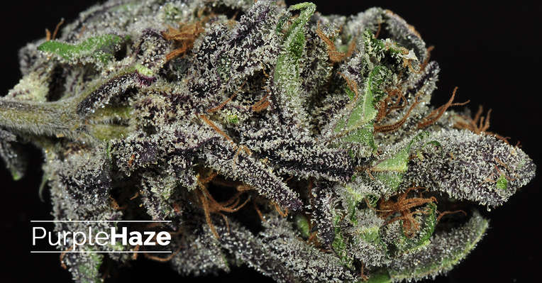 Featured strain: Purple Haze