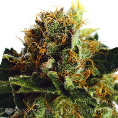 Featured strain: Purple Haze