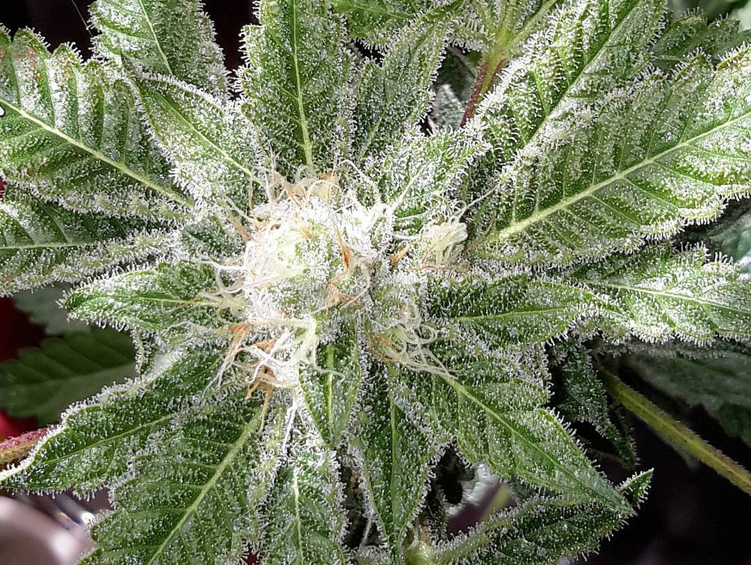 Featured strain: The White
