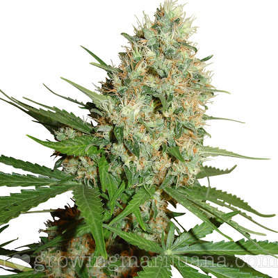 Featured strain: Trainwreck