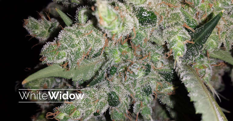 Featured strain: White Widow