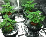 Deep Water Culture (DWC) systems