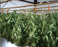 Harvesting, drying & curing
