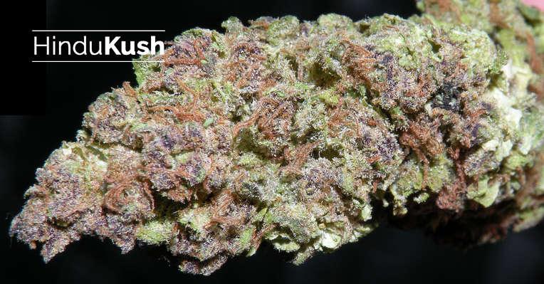 Hindu Kush Strain Information Cannafo Marijuana