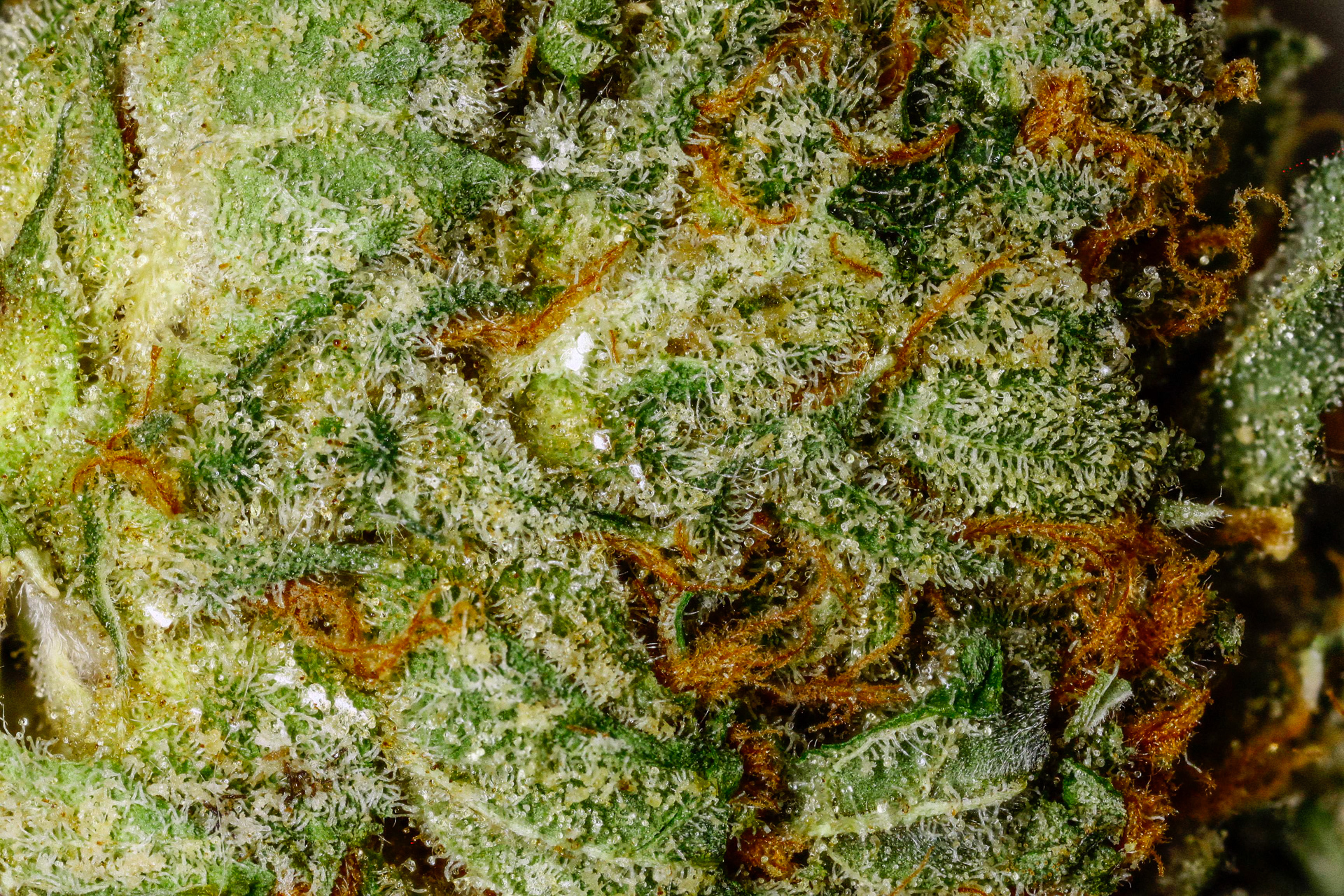Sunset Sherbet Strain Information | Cannafo | Marijuana