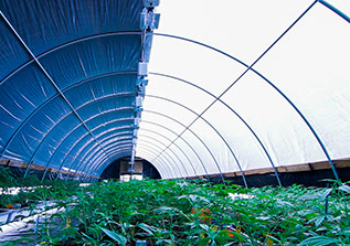 Cannabis growing greenhouse light deprivation