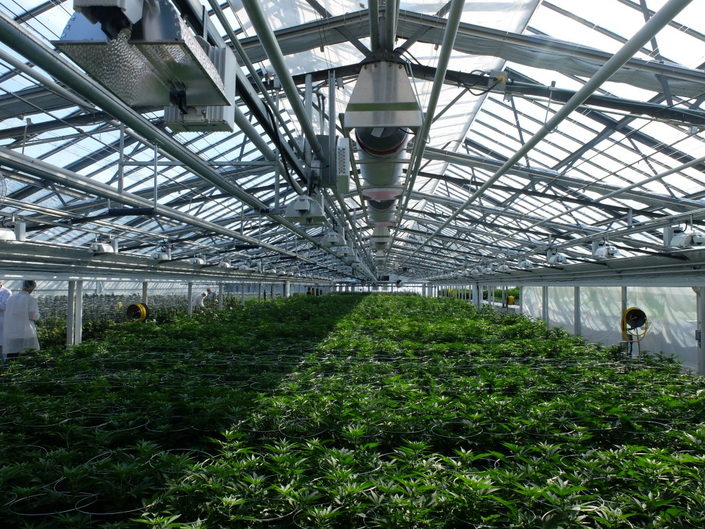 Marijuana growing greenhouse supplemental lighting